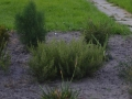 grevillea australis