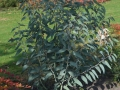 seedling of eucalyptus debeuzevillei