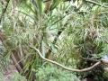 Carmichaelia arborea
