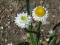 Ammobium alatum - Winged Everlasting Daisy