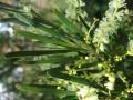 acacia-mucronata