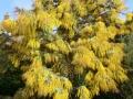 Acacia baileyana - cootamandra wattle