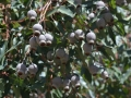 Gum nut