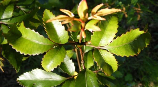 Weinmannia racemosa